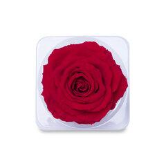 Stabilizēta Karaliskā roze (Rose King), 1 gab.