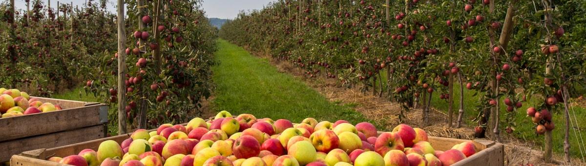 Kur likt ābolus?